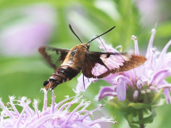 Hummingbird Moth Wings