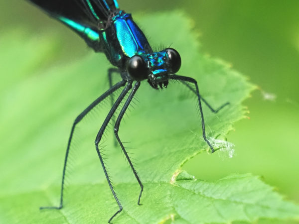 Jewelwing Eyes and Legs