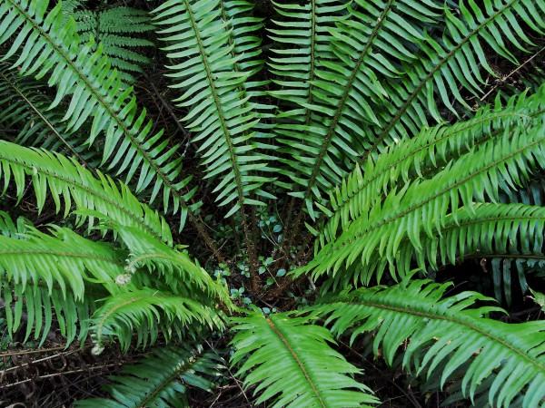 John-Palka-Chinook-Sword-Ferns