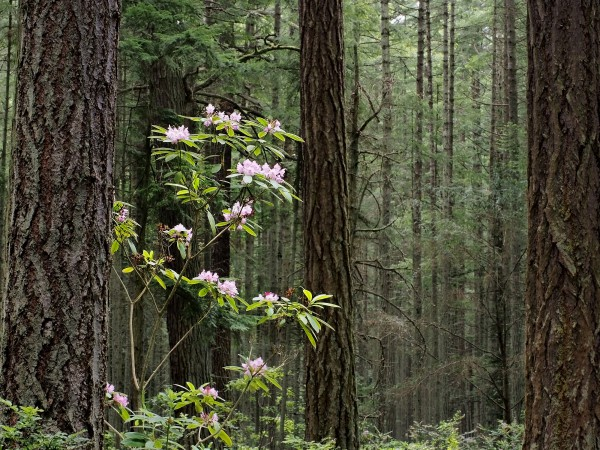 Native Rhododendron, Rhododendron County Park - John Palka