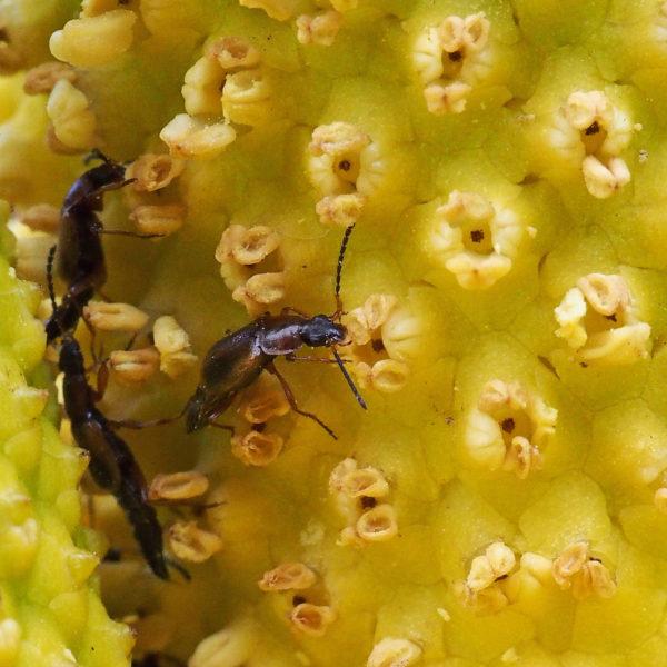 Beetles Feeding on Pollen