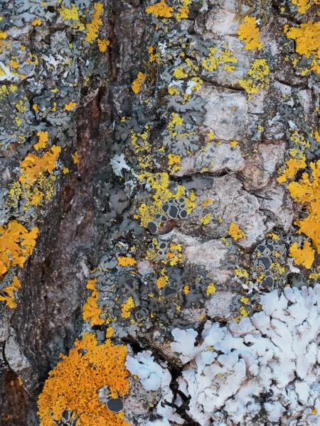 Minnesota - Lichens in Winter