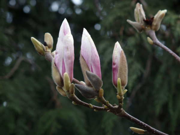 Magnolia buds in Seattle
