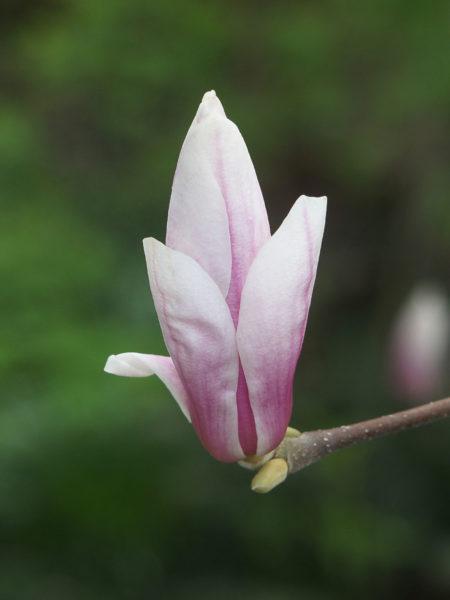 Magnolia flower opens