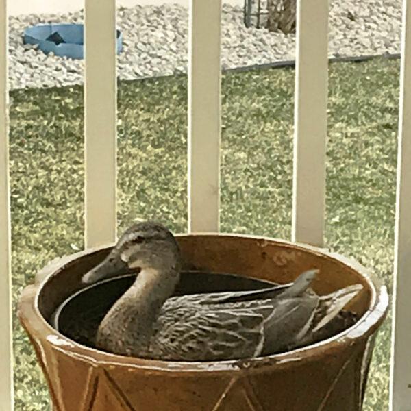 Mama Duck Nesting
