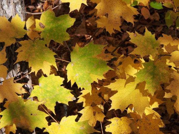 Sugar maple leaves changing