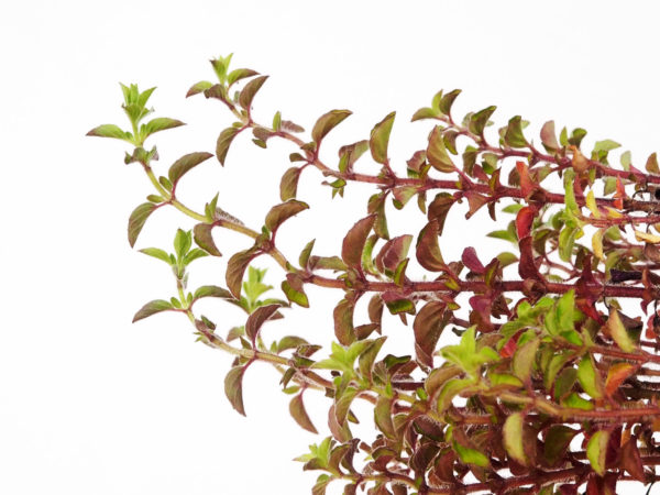 Marjoram Horizontal in Dark