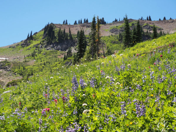 Mid-summer meadow, Mt. Rainier.