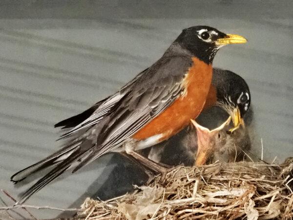 Both robin parents feeding