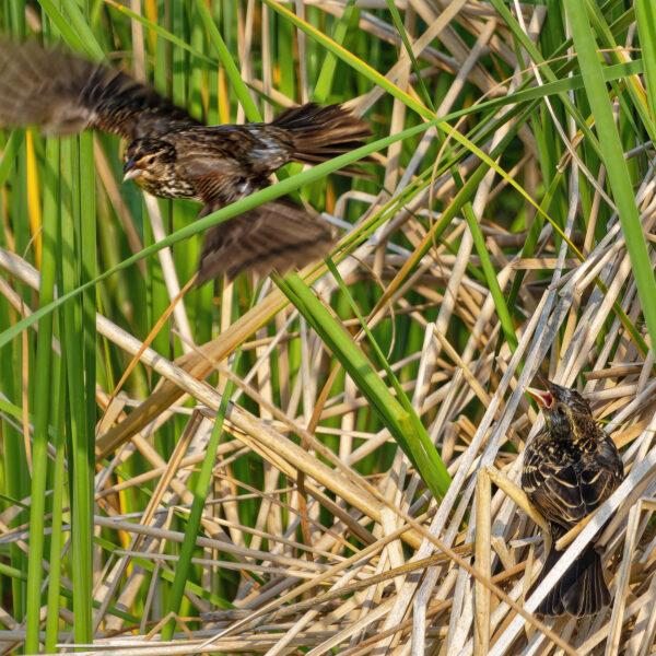 Blackbird mom flies