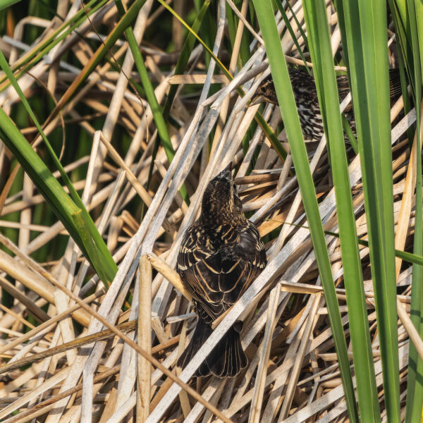 Blackbird mom hides