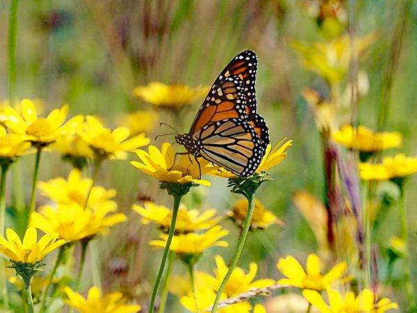 Monarch feeding on false sunflower
