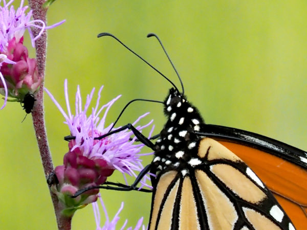 Monarch antennae and proboscis