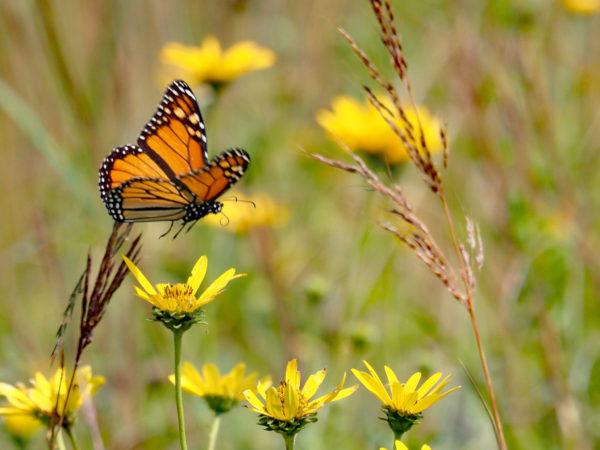 Monarch approaching false sunflower