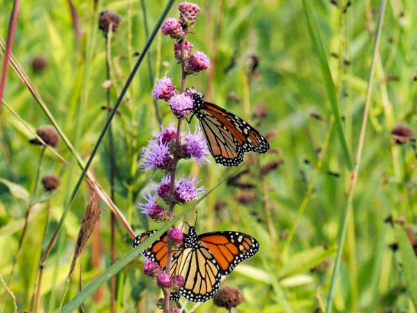 Monarchs feeding
