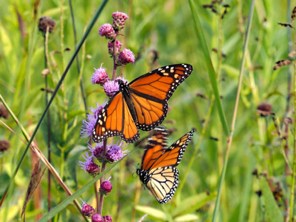 Monarch approaching