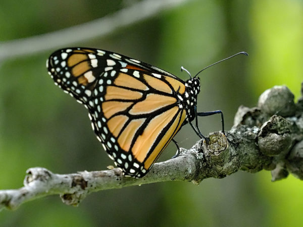 Monarch Resting in Shade