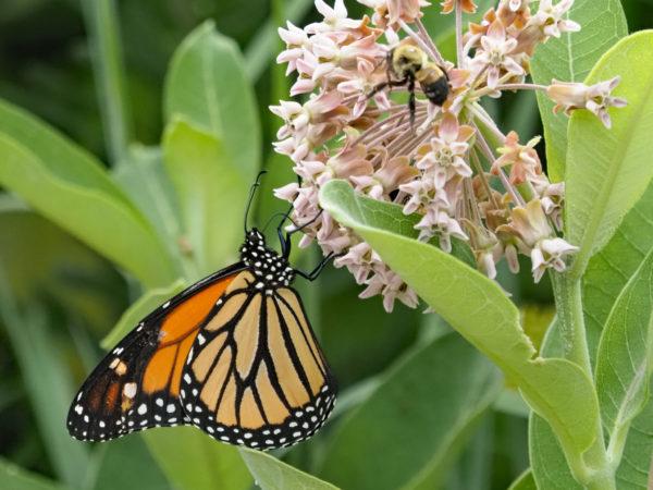 Monarch and Bumblebee on Milkweed