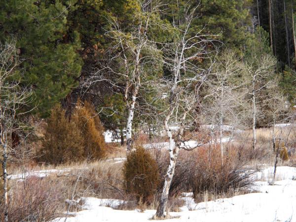 Pintler Birch