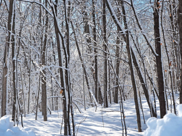 A deciduous forest in Minnesota in winter.