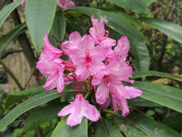 Whidbey native rhododendron flowers