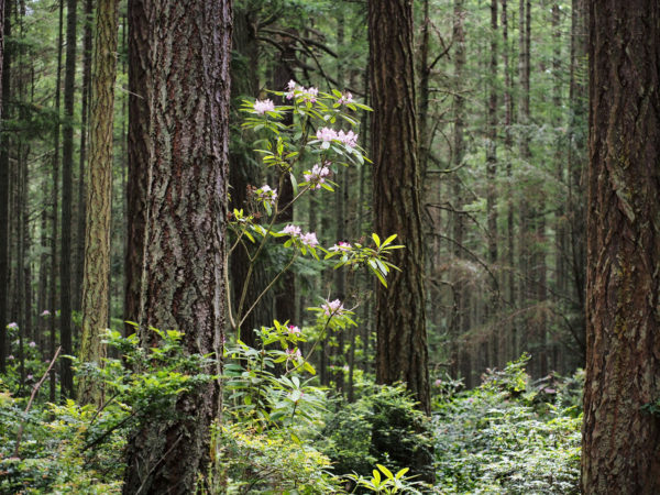 Whidbey native rhododendron