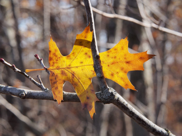 Autumn red oak, Minnesota