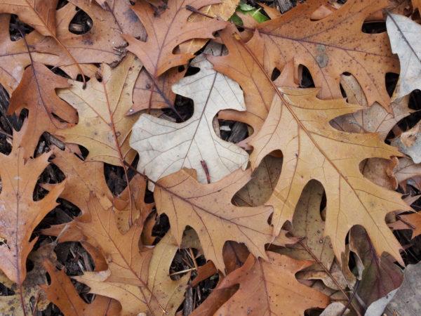 Oak leaves turning brown, Minnesota