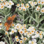 Pearly everlasting and fritillary, Olympic Mountains