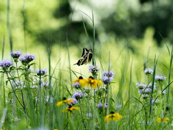 Giant Swallowtail on Monarda