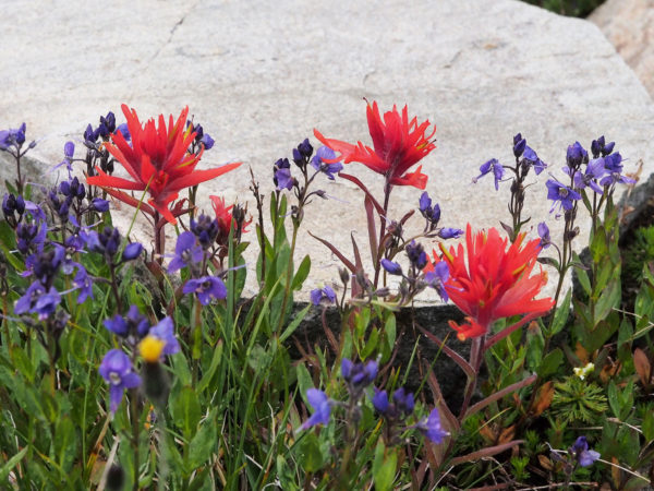 Paintbrush and veronica, Hart's Pass.