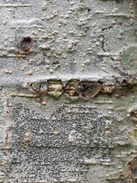 Alder Lichens - Sexual Reproduction
