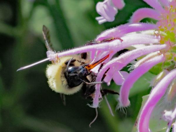 Bumblebee Proboscis