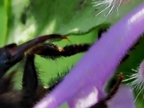 Bumblebee Tongue