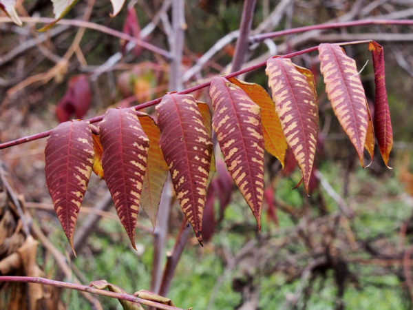 Smooth sumac in purple, Minnesota
