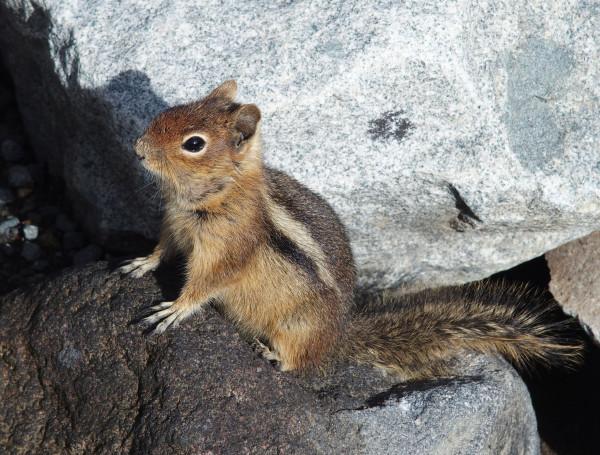 Rainier Ground Squirrel