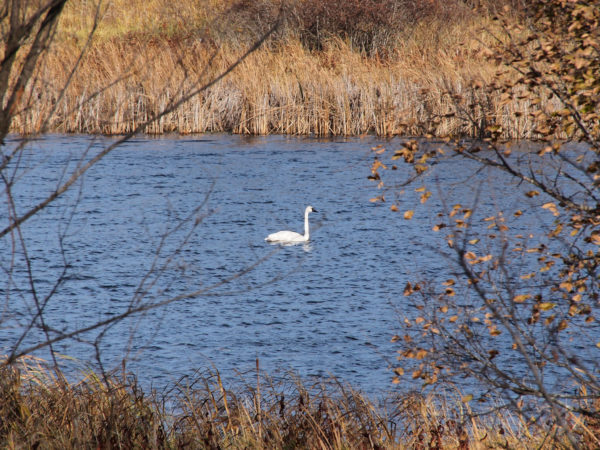 Trumpeter swan in autumn, Lake Rebecca