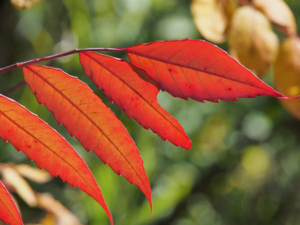 Smooth sumac in red-orange, Minnesota