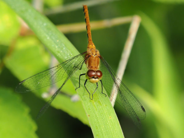 Ruby Meadowhawk Female