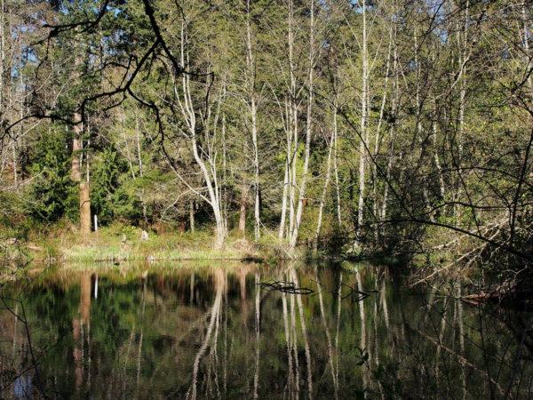 Alder Reflection - Earth Sanctuary
