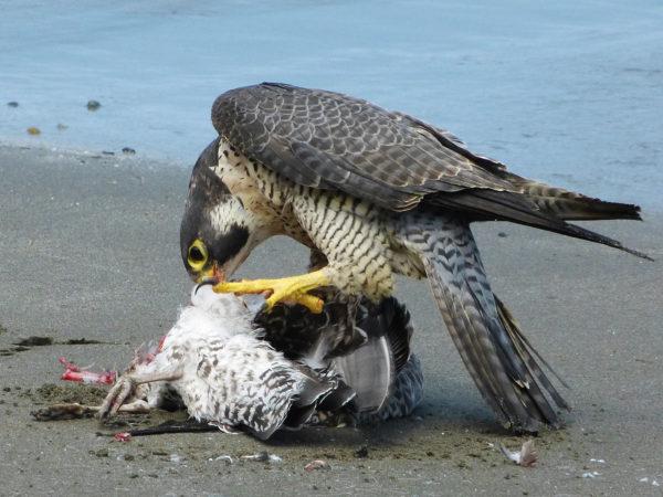 Shi-Shi Falcon