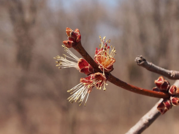Silver maple, male flowers