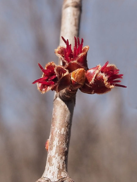 Silver maple, female flowers