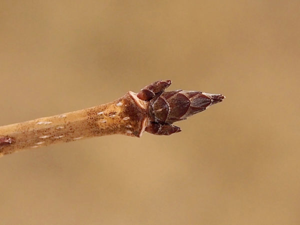 Sugar maple buds in spring