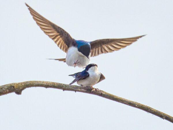 Tree swallow male approaching female
