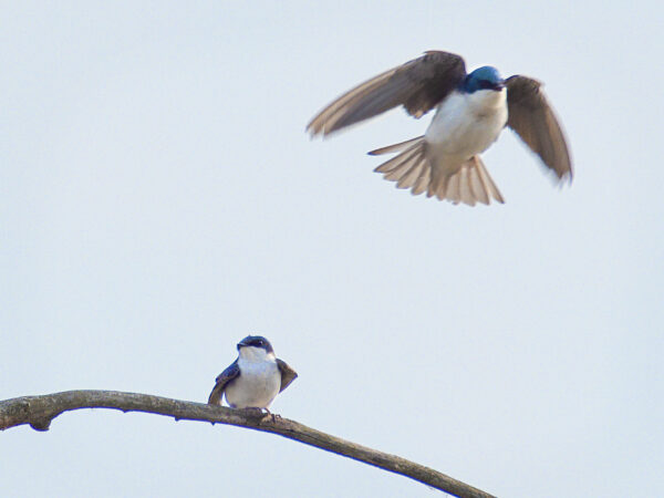 Tree swallow male departs after mating