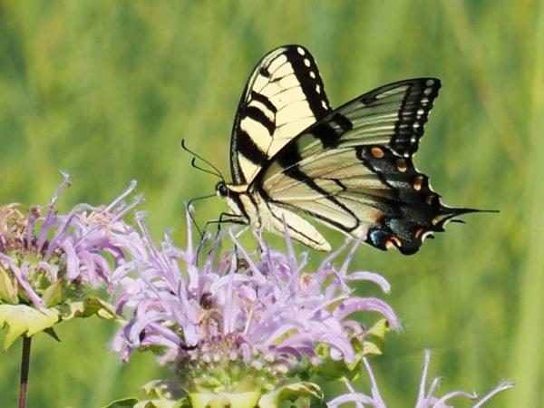 Swallowtail Proboscis Extended