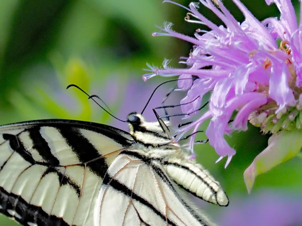 Eastern Tiger Swallowtail Close-Up