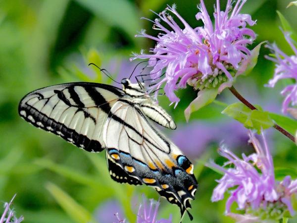 Eastern Tiger Swallowtail on Monarda
