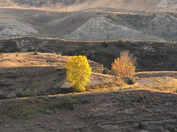Autumn cottonwoods, Teddy Roosevelt National Park